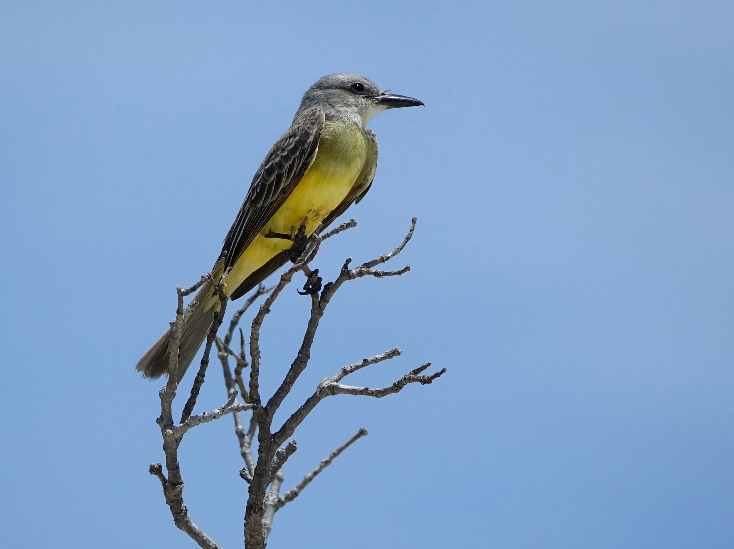 TROPICAL KINGBIRD ( Tyrannus melancholicus),  Isla Holbox, Mexico, April 2018