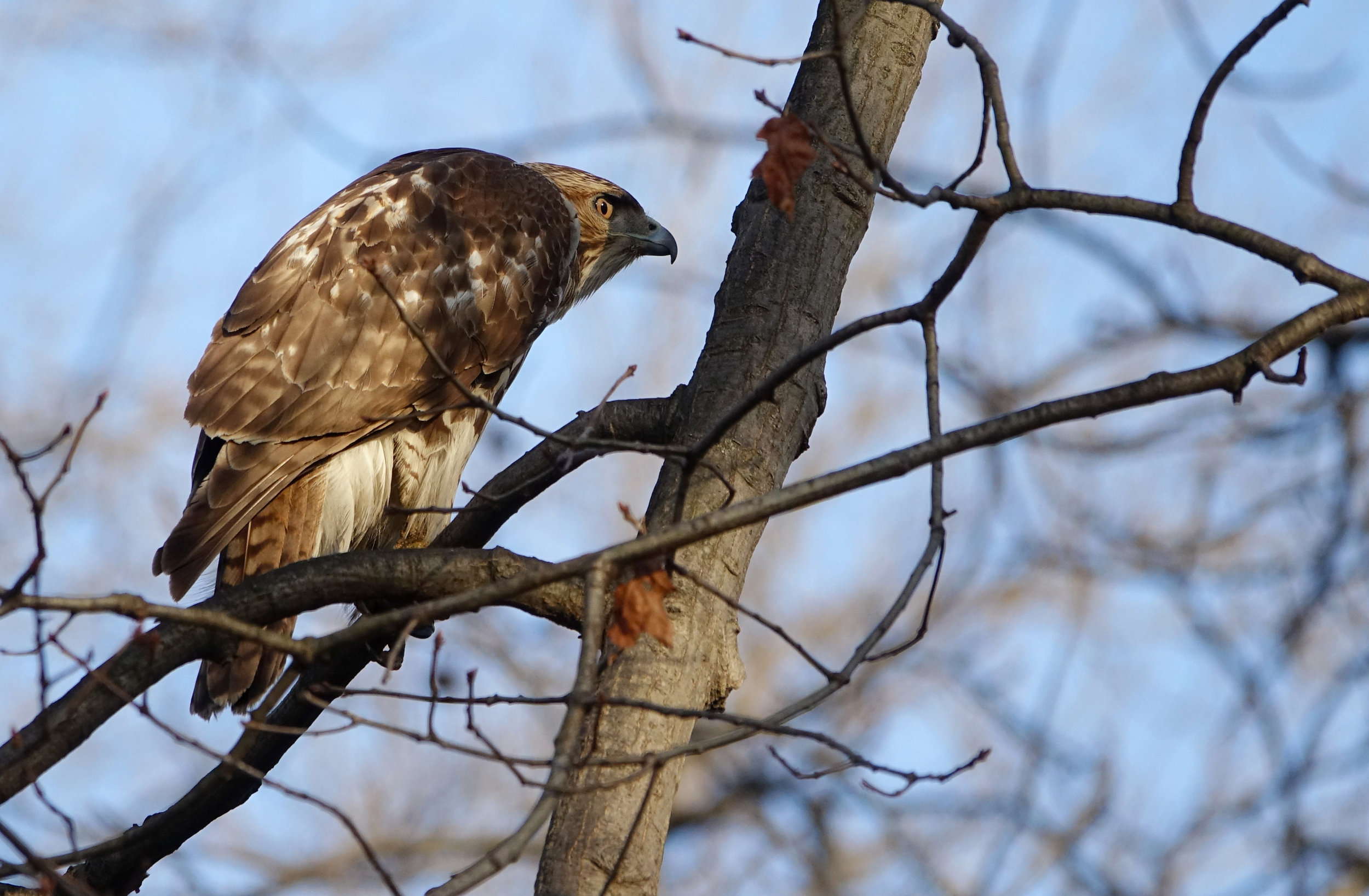 RED-TAILED HAWK  (Buteo jamaicensis),  NYBG, NYC, February 2019