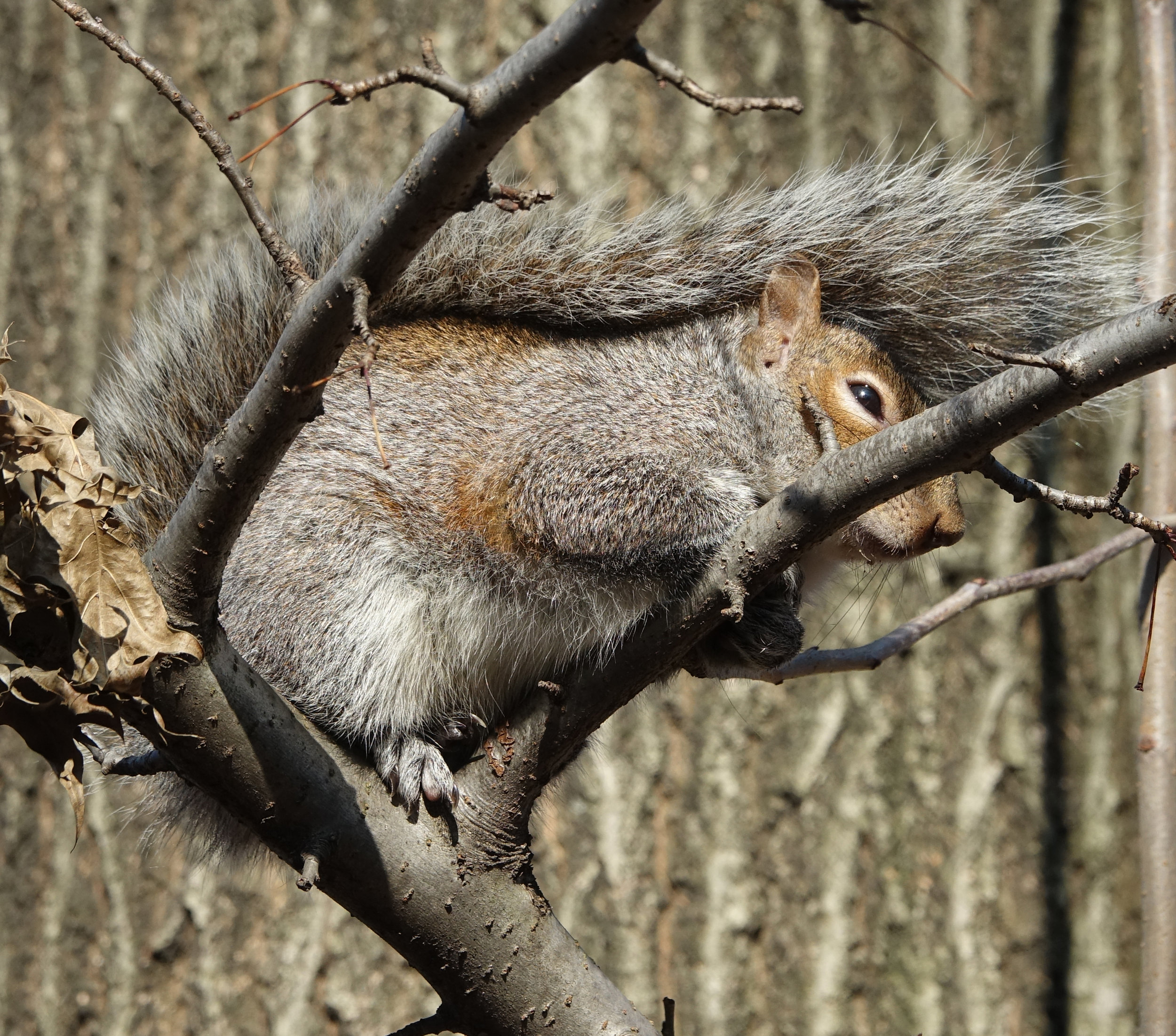 EASTERN GRAY SQUIRREL  (Sciurus carolinensis),  Central Park, NYC, February 2019