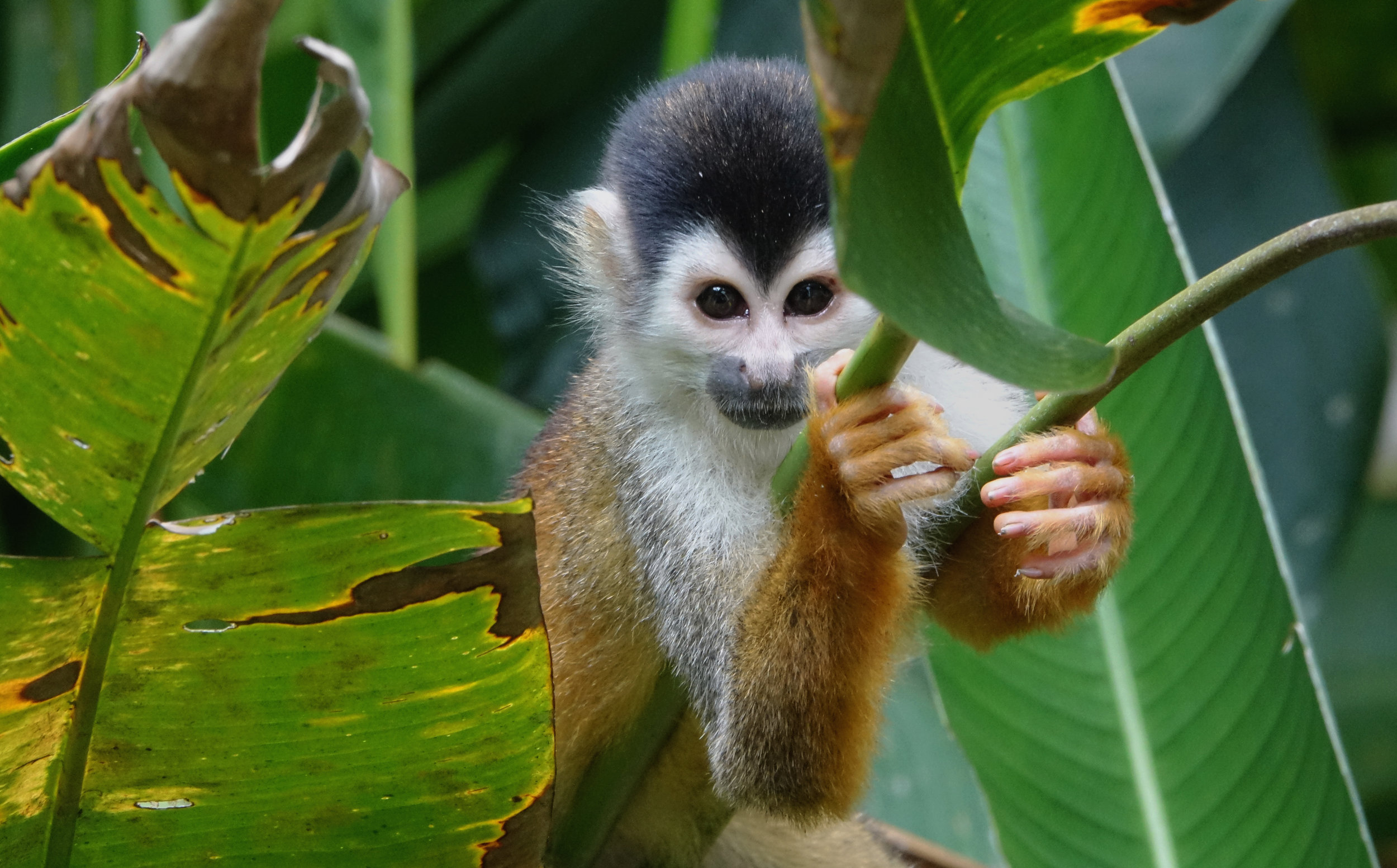 CENTRAL AMERICAN SQUIRREL MONKEY (Saimiri oerstedii), Rio Sierpe, Costa Rica, 2019
