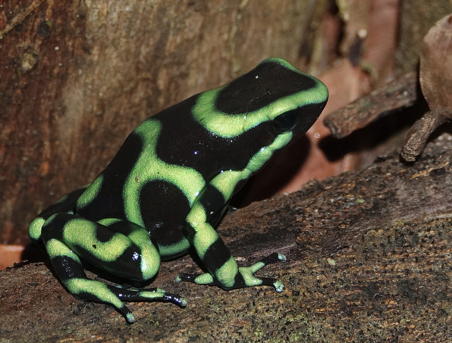 GREEN-AND-BLACK POISON DART FROG ( Dendrobates auratus ), Costa Rica, 2019