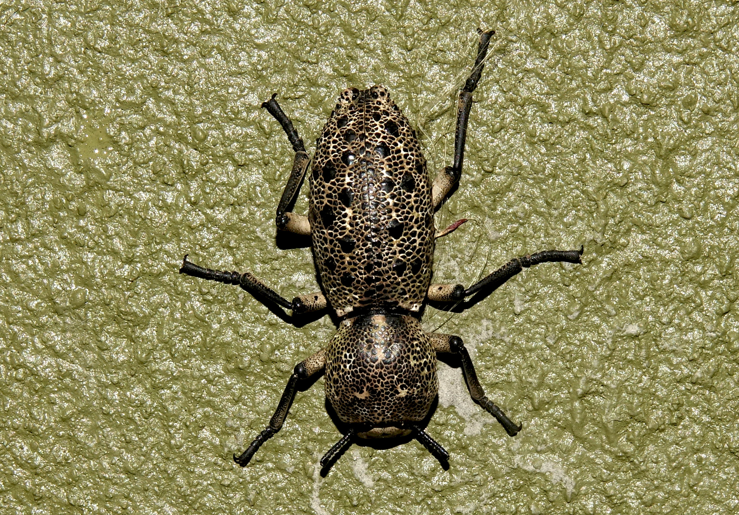 IRONCLAD BEETLE, Family Zopheridae, Santa Elena, Costa Rica, 2019