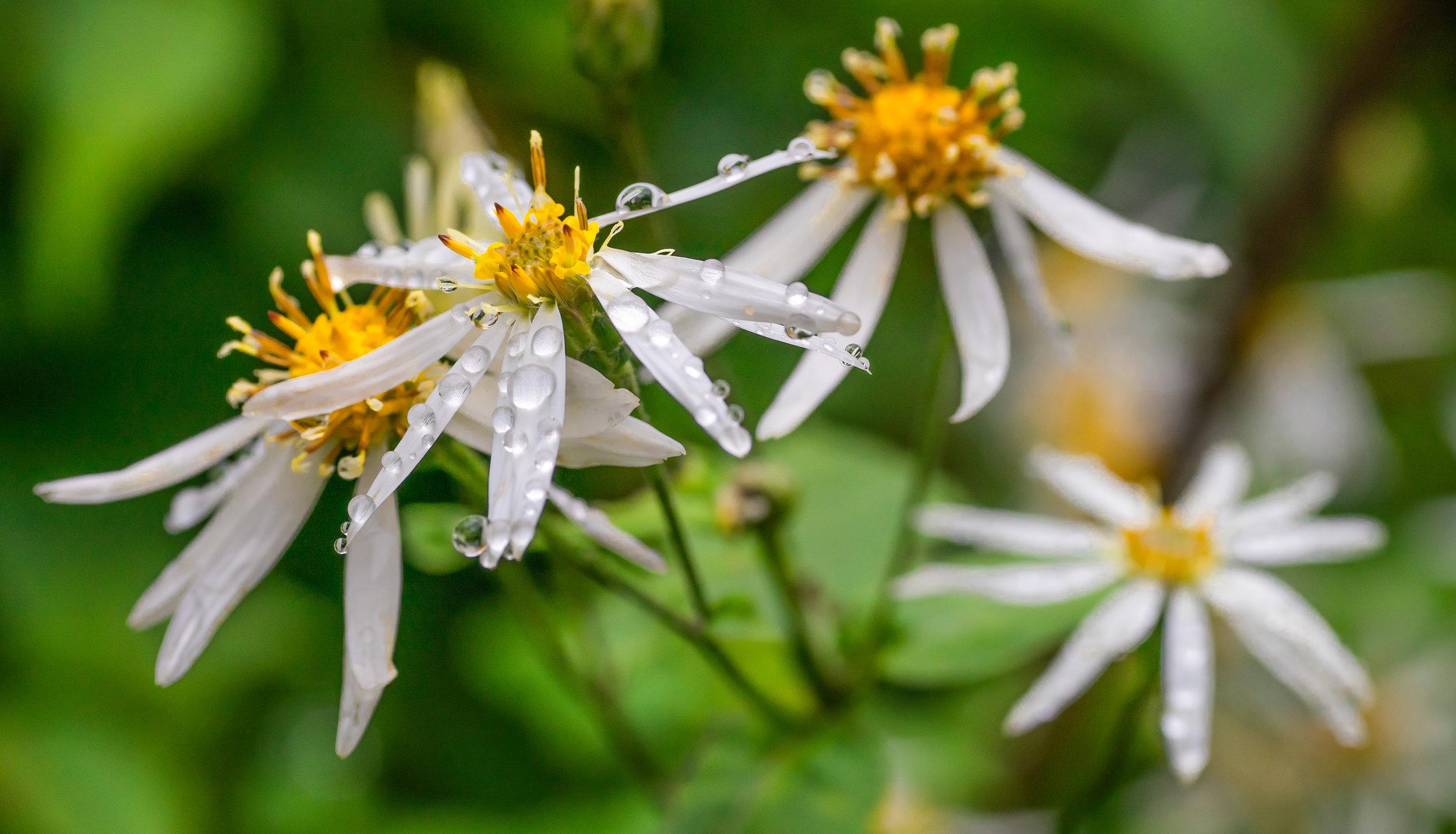 White Wood Aster (Eurybia divaricata), Mount Mitchell, NC, August 2019