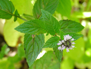 Peppermint can be good for the solar plexus chakra. Photo:  Some rights reserved  by  wonderferret