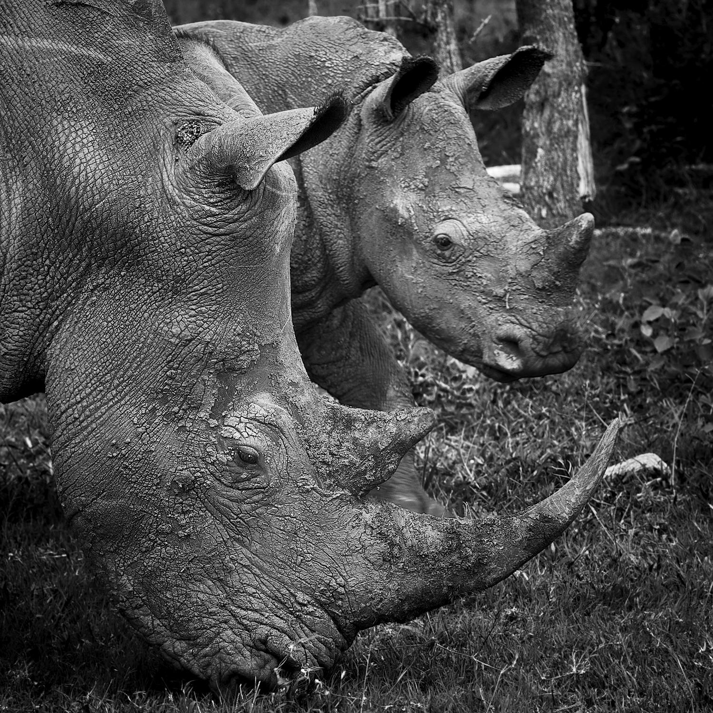 Critically Endangered Rhino