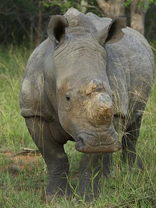 A rhino on the South African set. Picture: Chris Martin