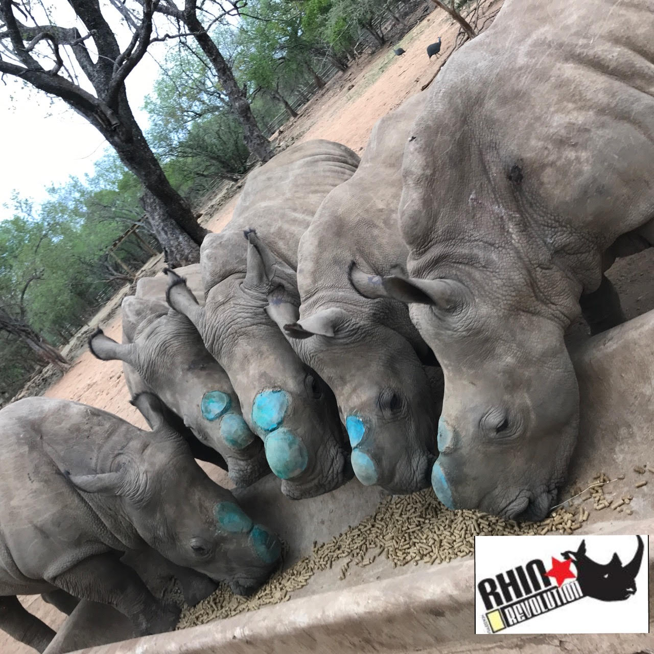5 orphans having been dehorned before release (blue is temporary antiseptic spray)..jpg