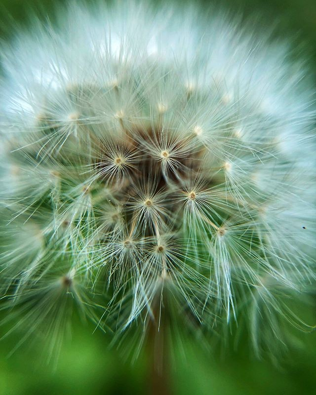 Dandelions do make for great pictures. This one by @deedeekohl with her #pocketlens #macro is awesome! Shot on a dual lens iPhone X.  #macroaddict #plants #flowers #dandelion #nature #green