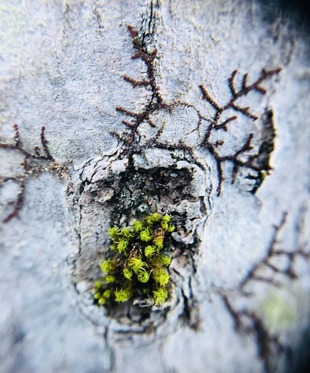 We totally loved the color harmony of this picture. The green is just so much greener with that white bark. Thanks a lot @zoelirakis #pocketlens #macro #nature #tree #bark #moss #duochrome