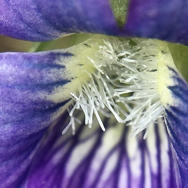 It is unlike @scottlovesbugs to post non-bug related pictures but when he does they're pretty cool. Worth a few seconds of your time! #nature #pocketlens #flower #hairy