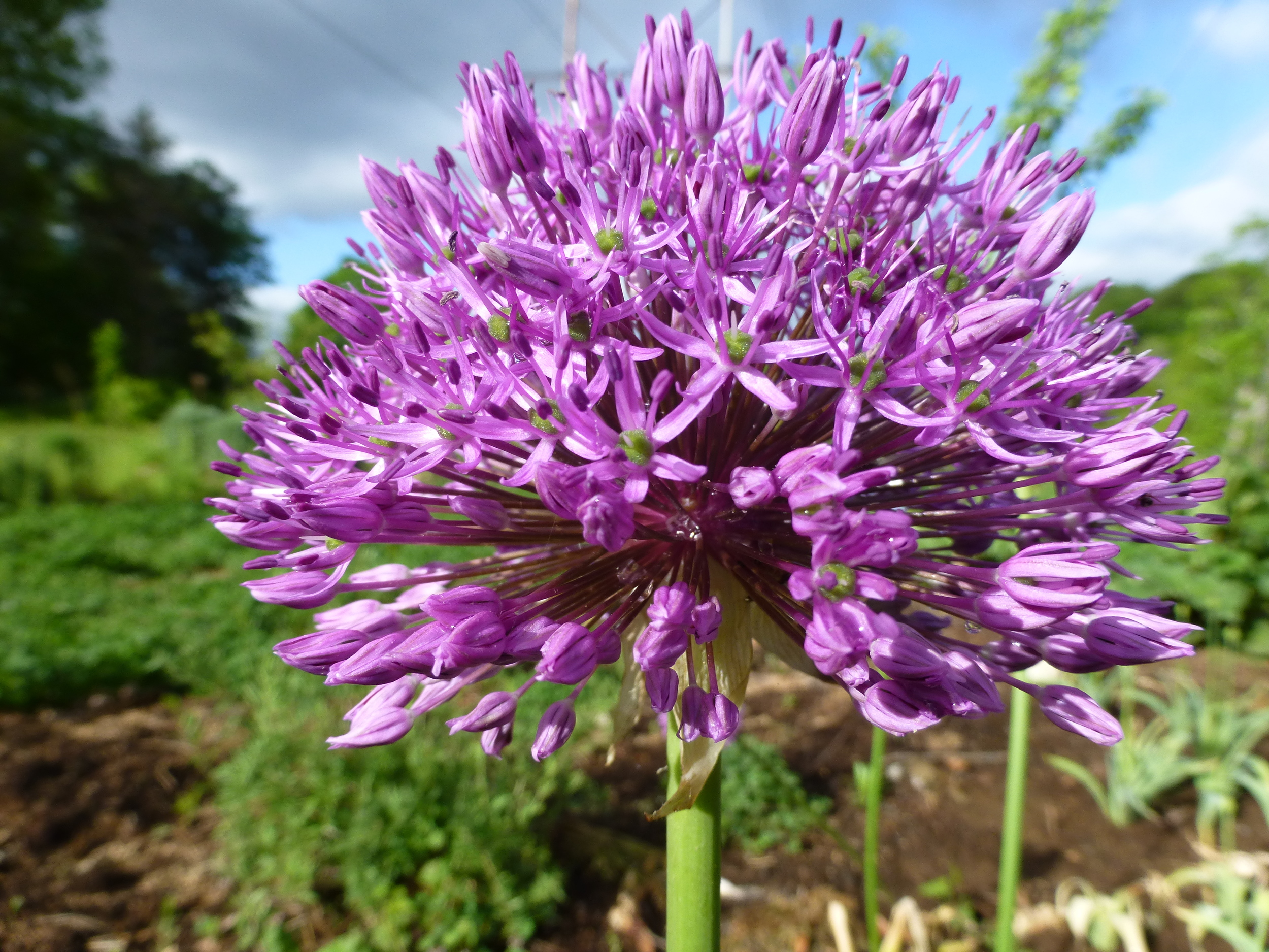 Allium aflatunense , a type of ornamental flowering onion. Note all of the stems meeting at one central point, a sure sign of an  Umbel.