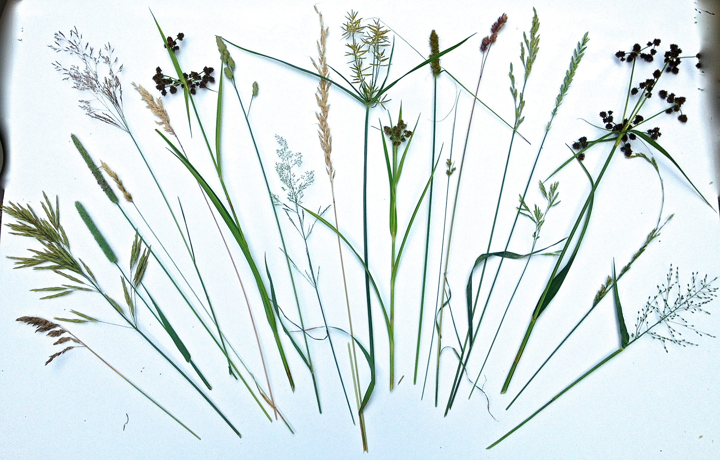 The grasses in here that look the most like fireworks are technically known as 'graminoids'.