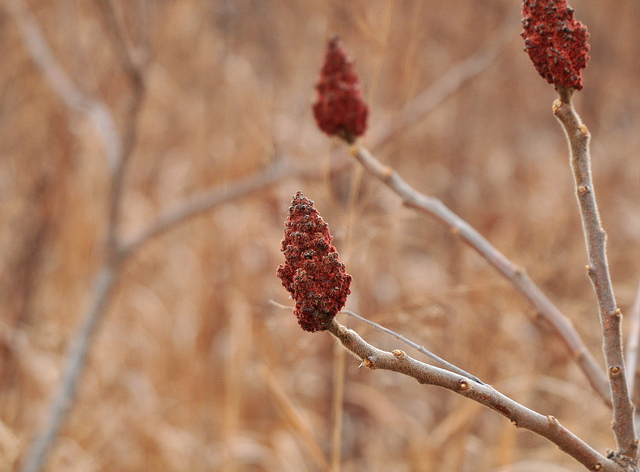 Staghorn Sumac in winter, with its distinctively persistent fruits.