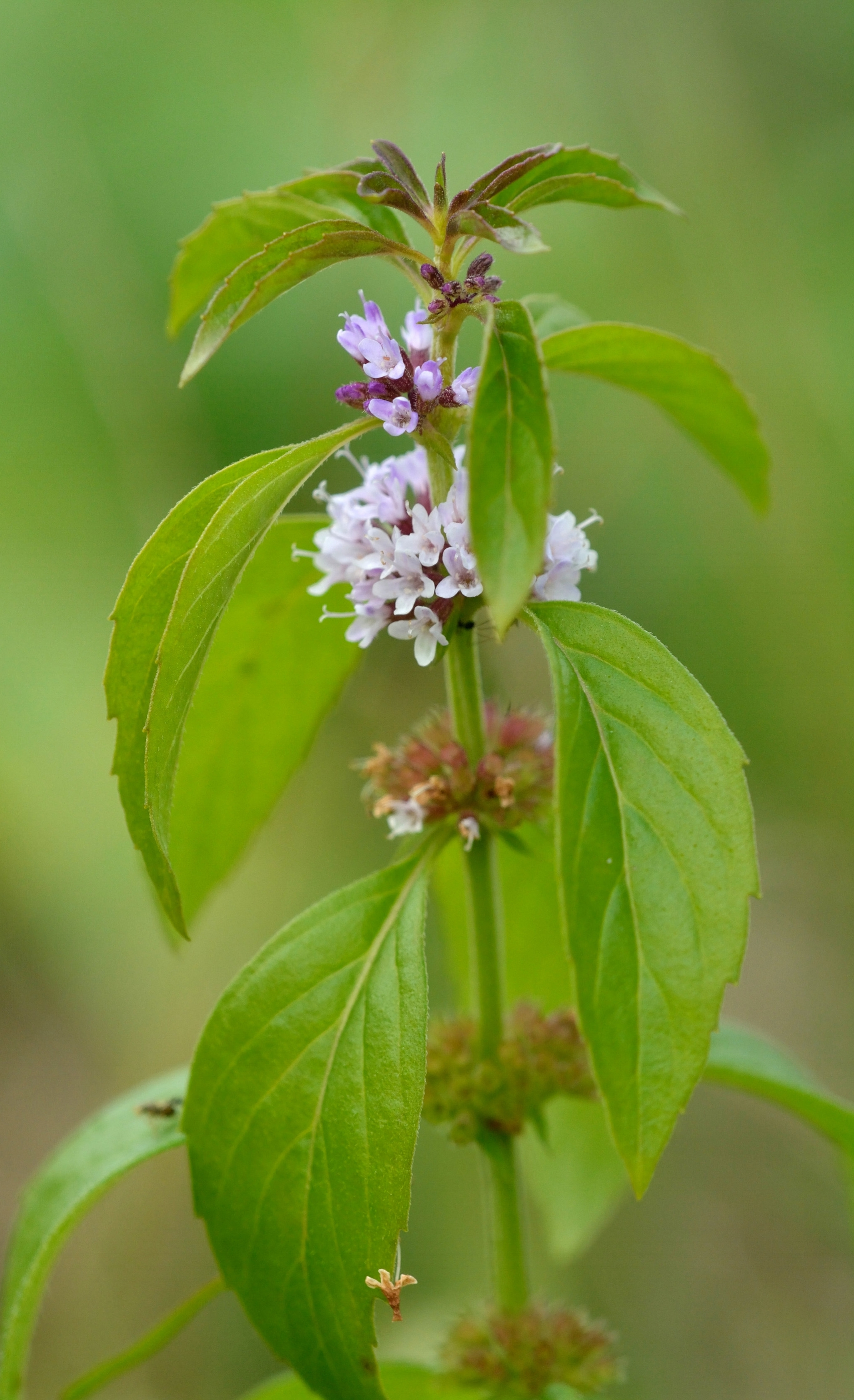 Mentha arvensis,  Field or Poleo mint. Look for this one near stream sides and wetter areas (probably mingled in with the plantain).  For more on how to identify and use mints, check out these articles,  Meet the Mints  and  Medicinal Mints .