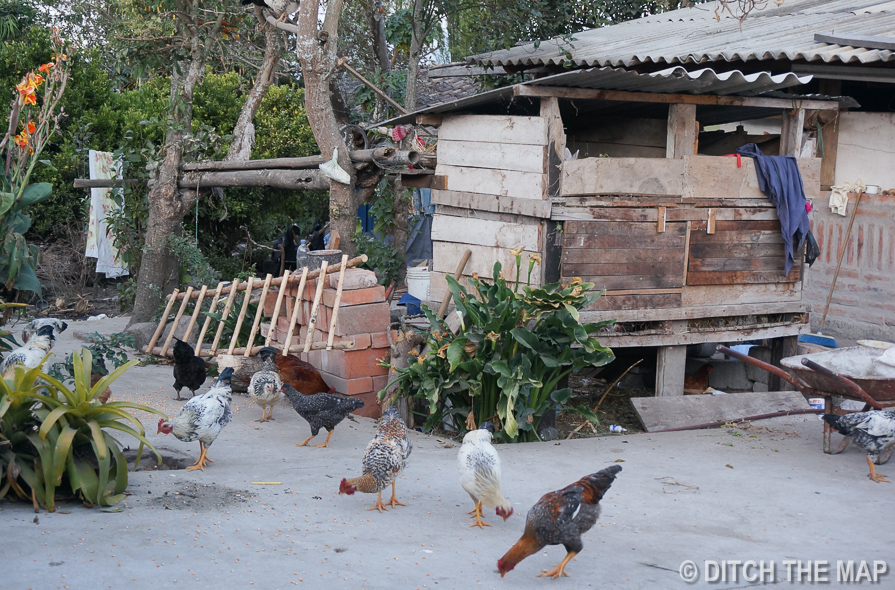 Chickens Roam Freely on the Property at our Homestay in Ecuador