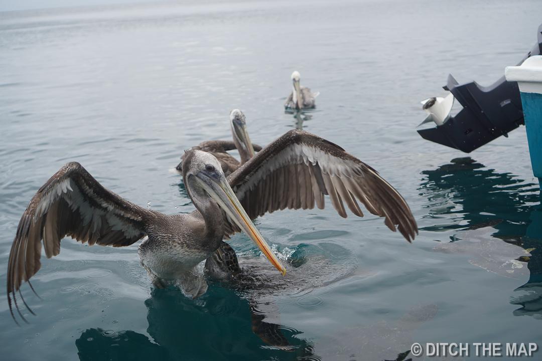 Pelicans near Isla de la Plata 42km off the shore of Puerto Lopez, Ecuador