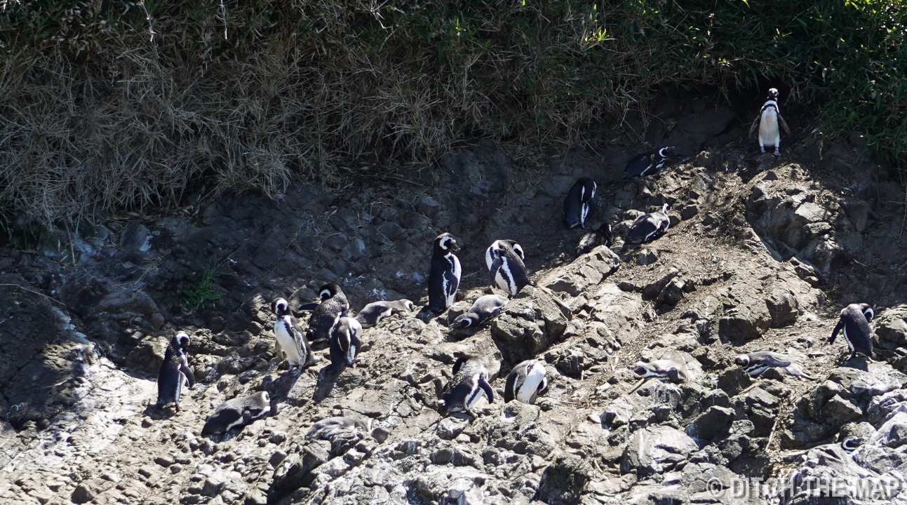 Watching both Magellan and Humboldt penguins nest off the coast of Chiloe, Chile