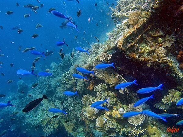 Fish Swimming Near the Liberty Wreck in Bali