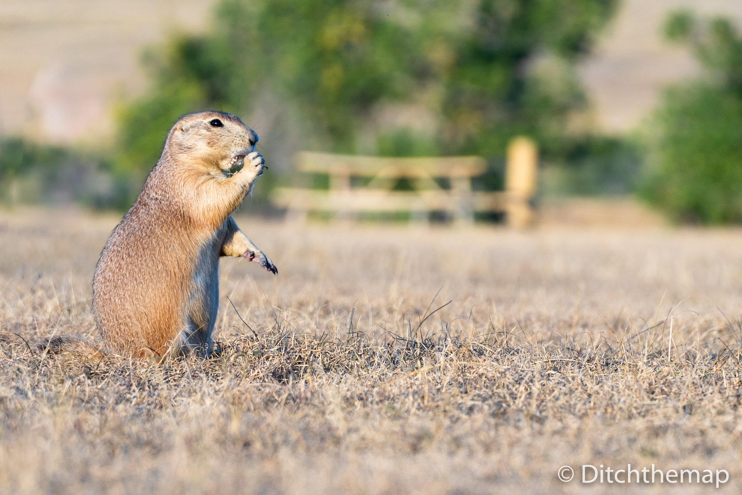 Prarie Dogs in South Dakota's Badlands