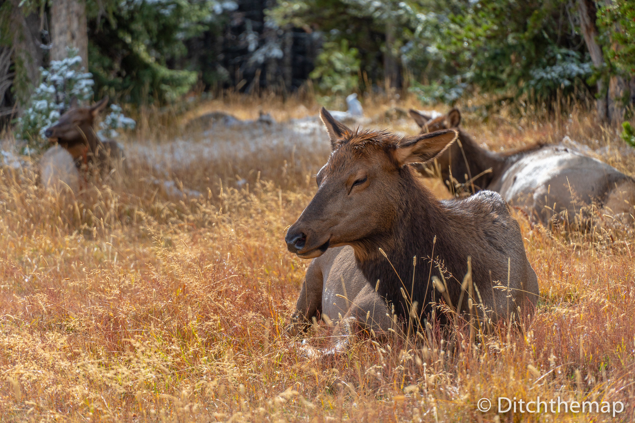 Large female elk laying in wild grass