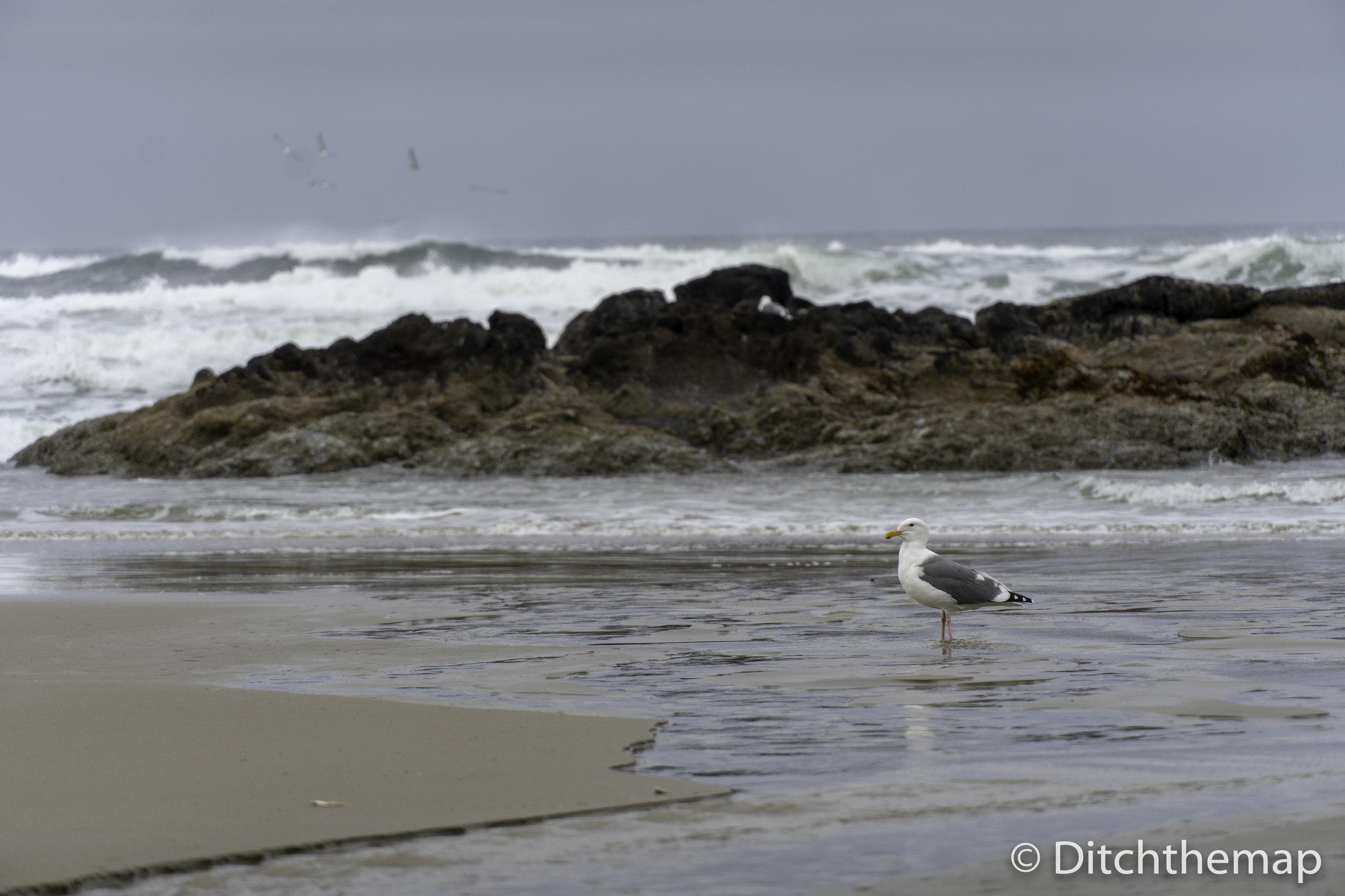 Oregon Coast Beach with Seagull