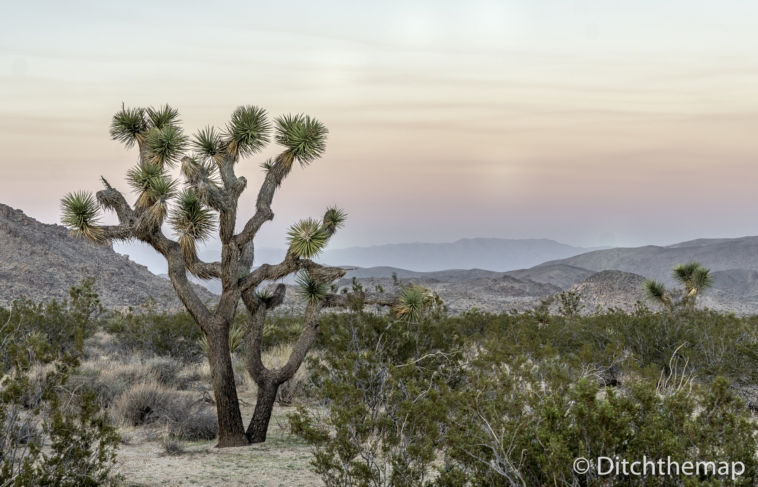 Joshua Trees at Dusk
