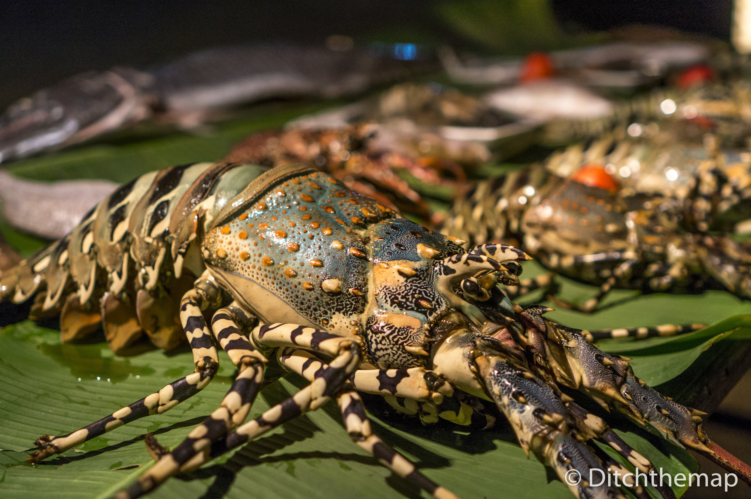 Blue Lobster from Indian Ocean