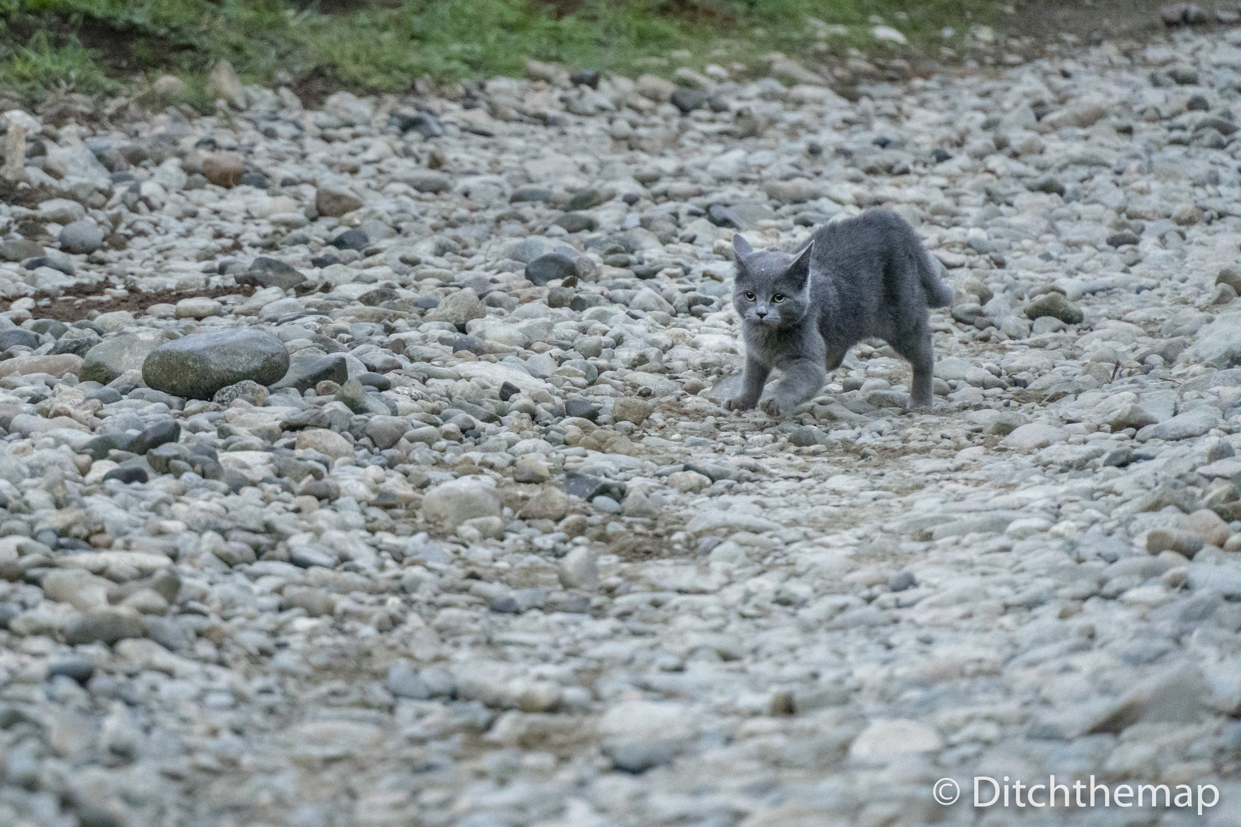 Grey Cat Running on Stones