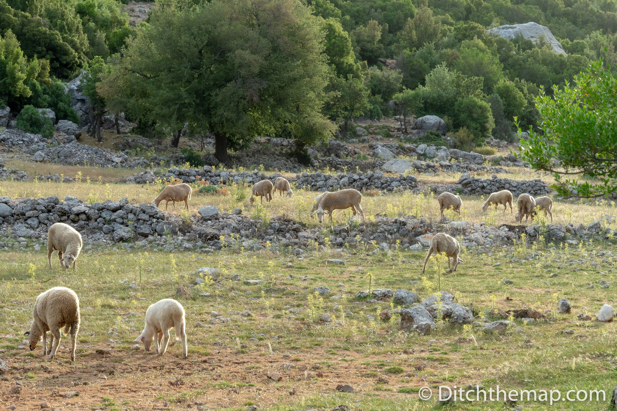Sheep graze next to our campsite on the Lycian Way