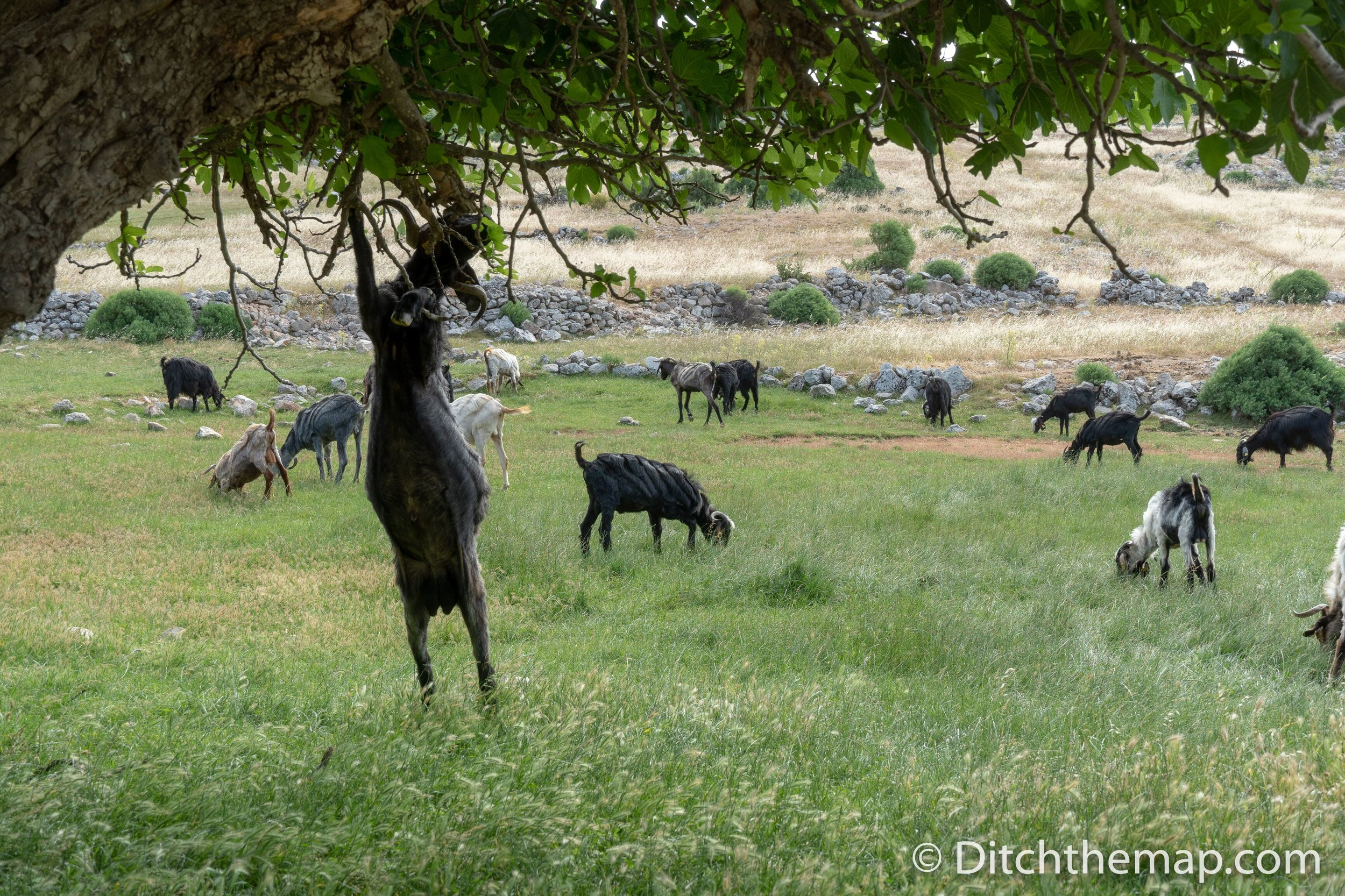 Clever goat eats leaves from a tree on the Lycian Way