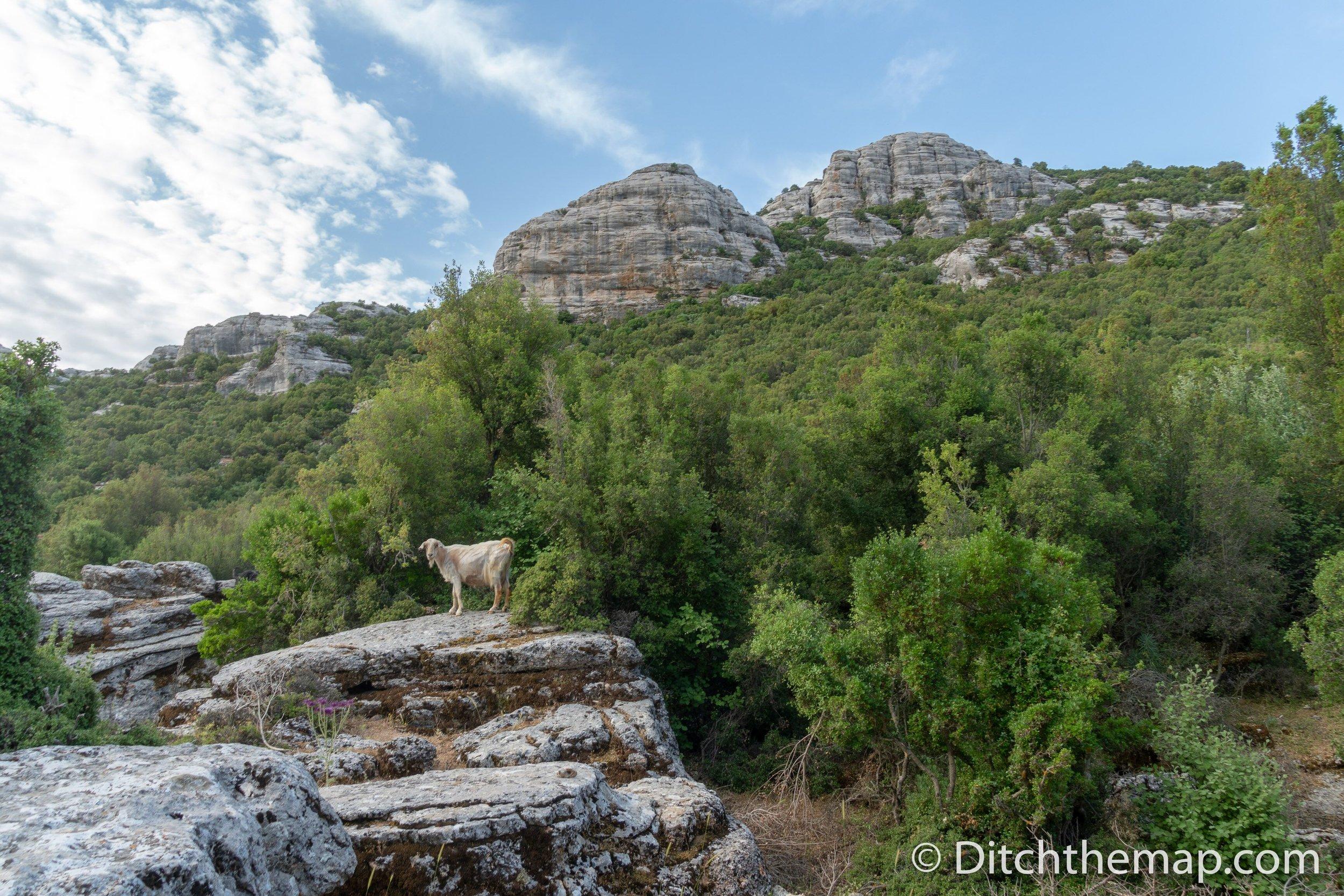 Funny goats climb atop rocks on the Lycian Way
