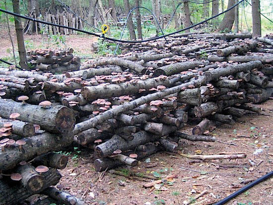 Forest Farming can include shiitake mushrooms growing on logs.