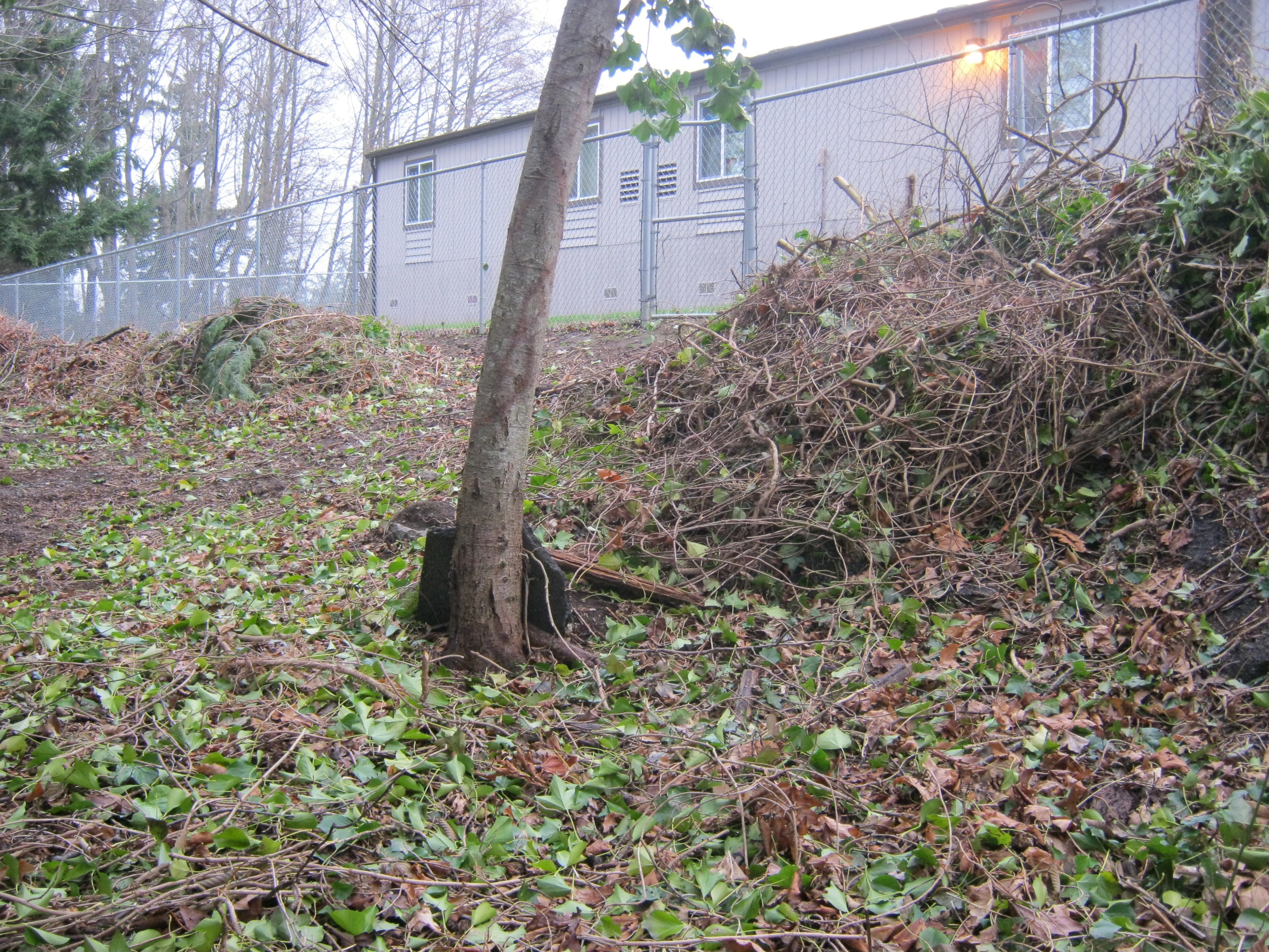 Prior the the school's restoration efforts (which began in 2013) the area where the outdoor classroom is now was riddled with ivy and other noxious weeds.