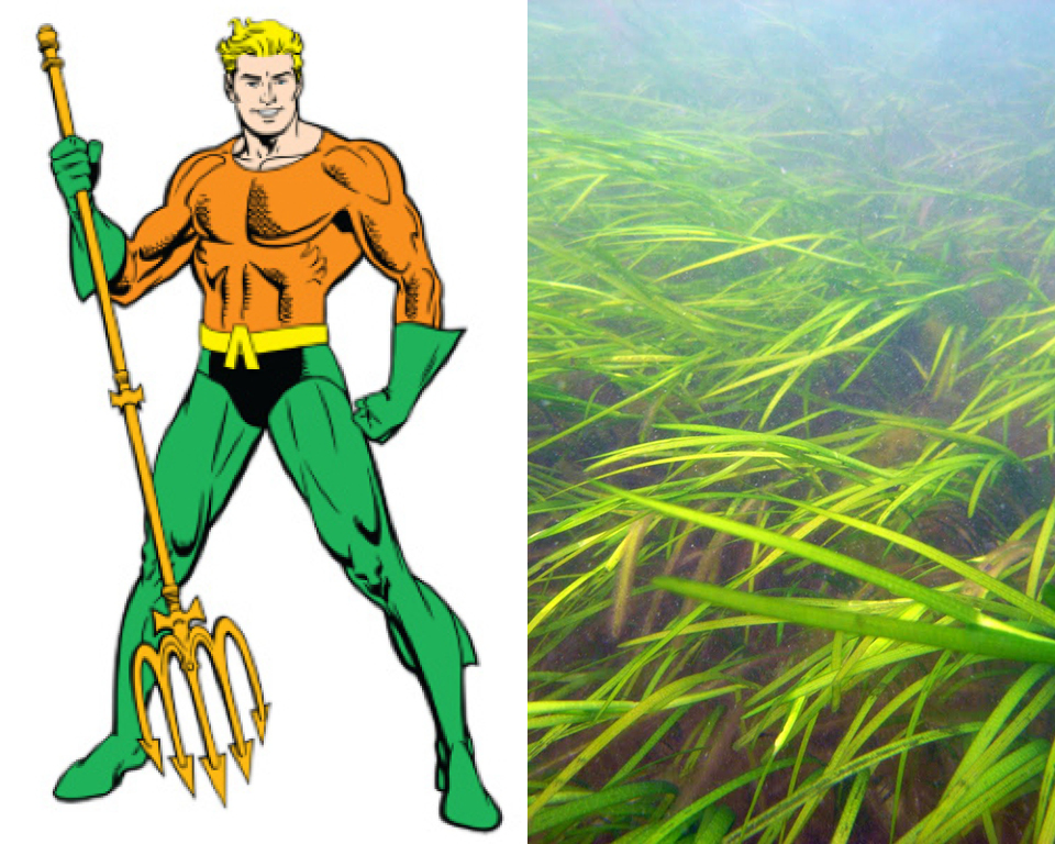 Aquaman - Common Eel-grass (Zostera marina)