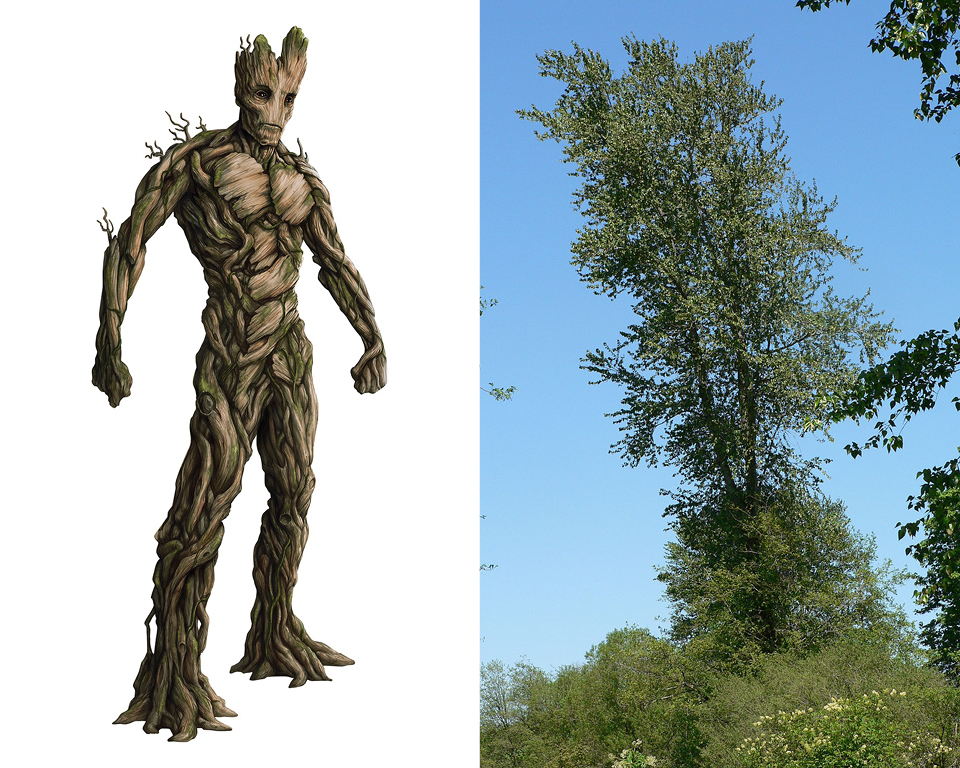 Groot - Black Cottonwood (Populus trichocarpa)