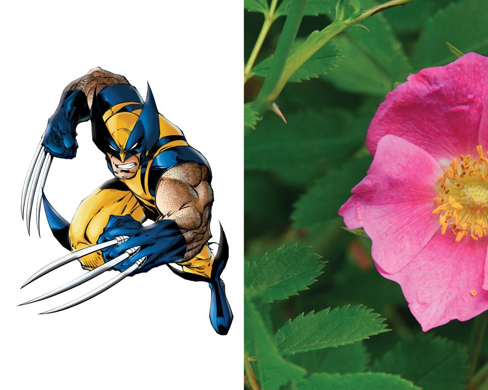 Wolverine - Nootka Rose (Rosa nutkana)