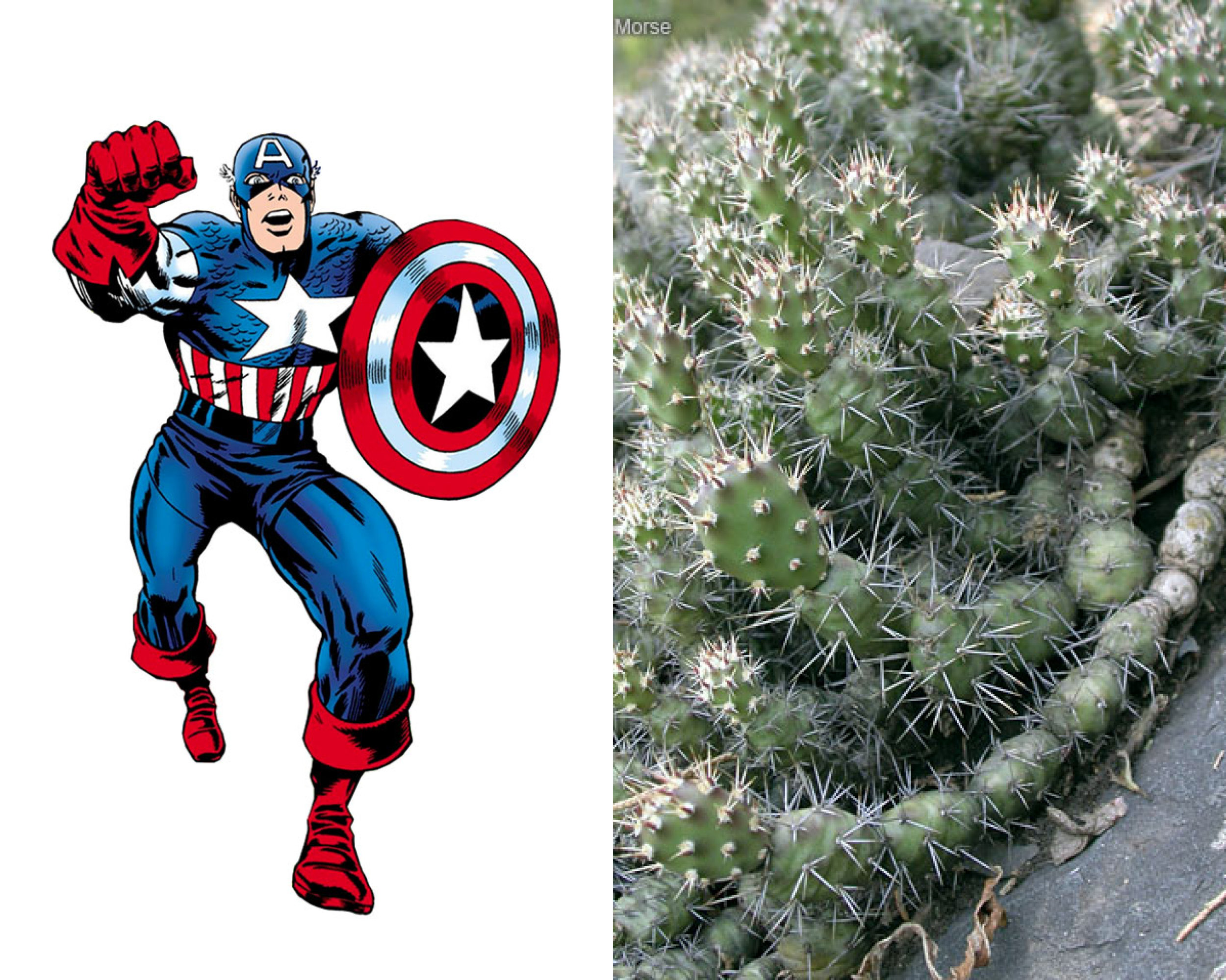 Captain America - Brittle Prickly-Pear Cactus (Opuntia fragilis)