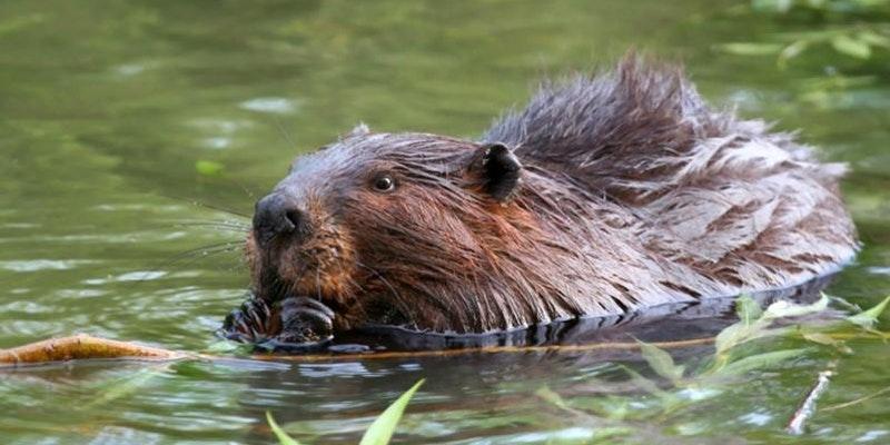 Beaver_King CD.jpg