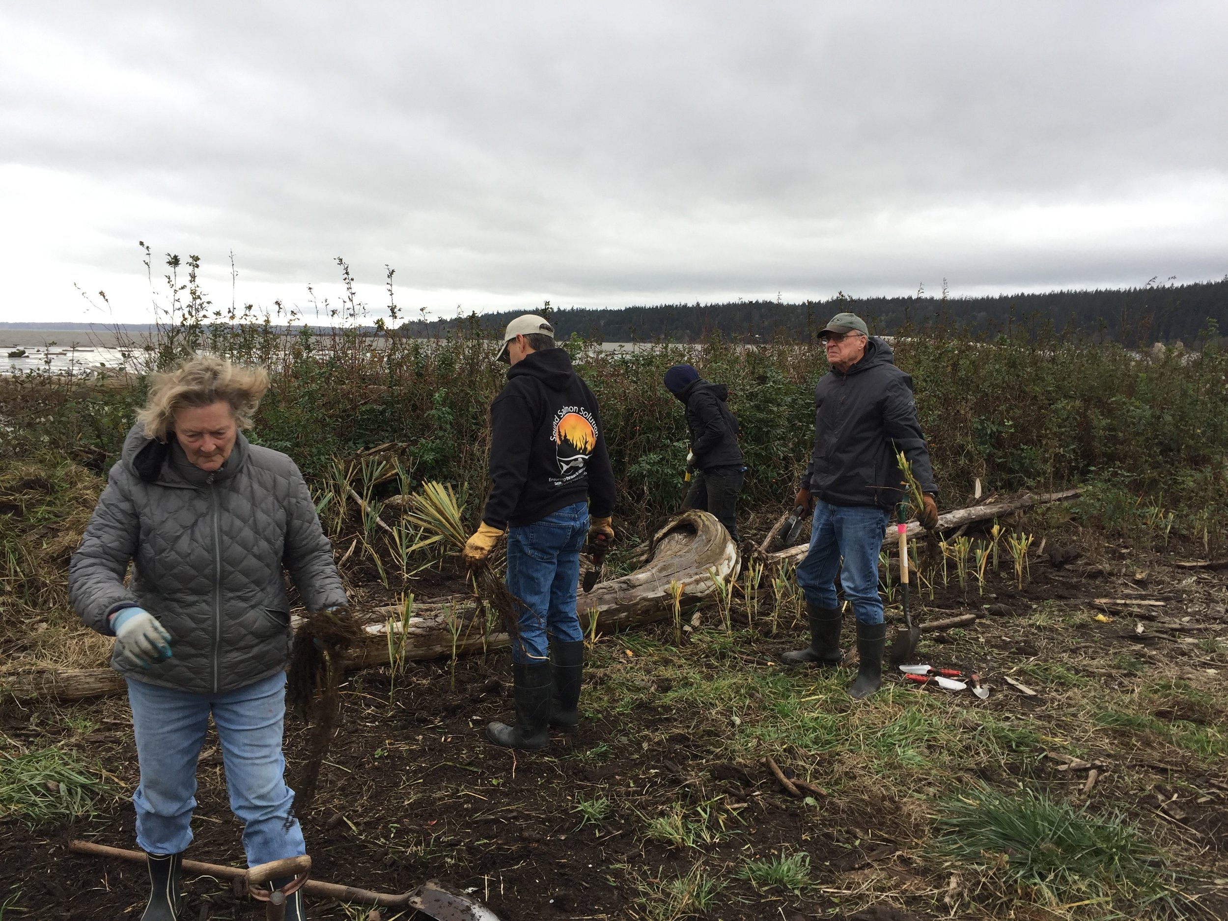 planting American dunegrass.JPG