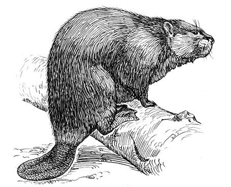 Beaver graphic_flipped.jpg