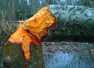 Evidence of beaver activity