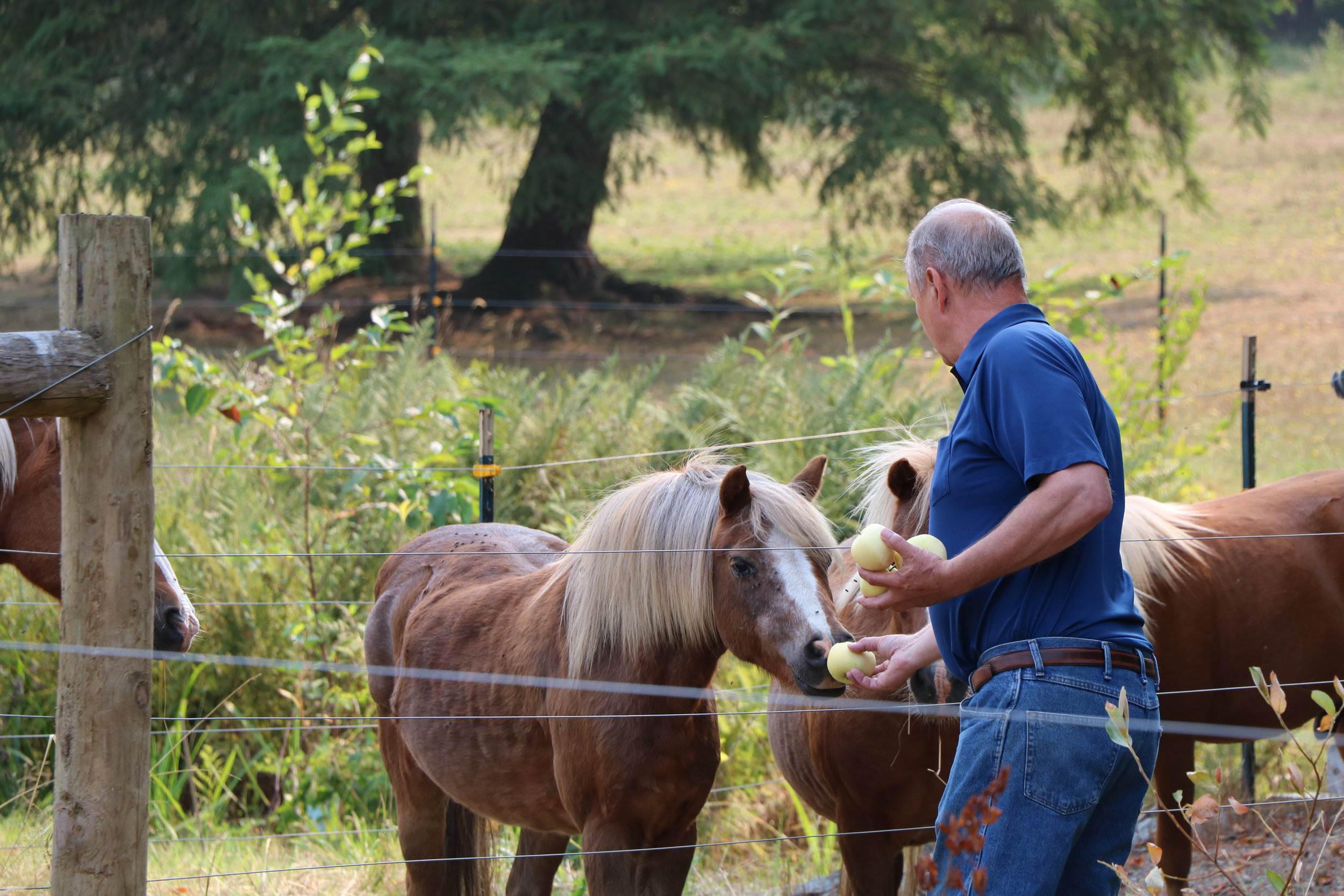 Bill feeds the American Shetland horses apples from his property.