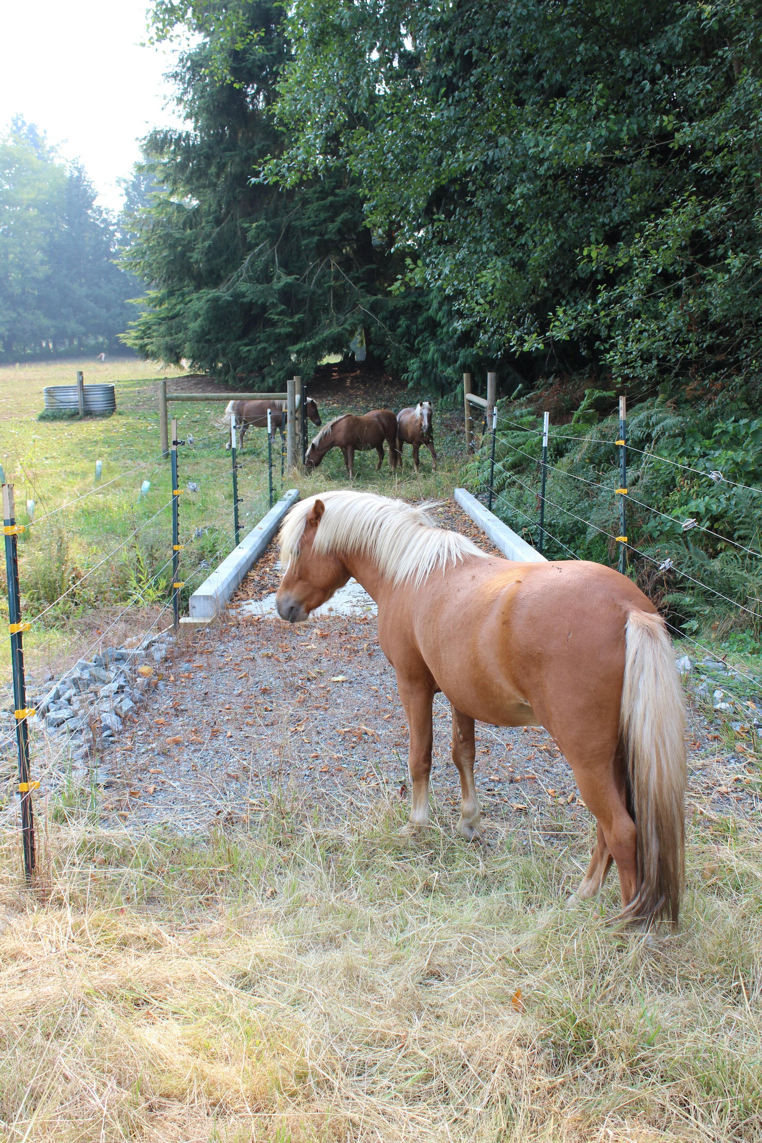 The American Shetland horses travel across the livestock bridge for the first time.
