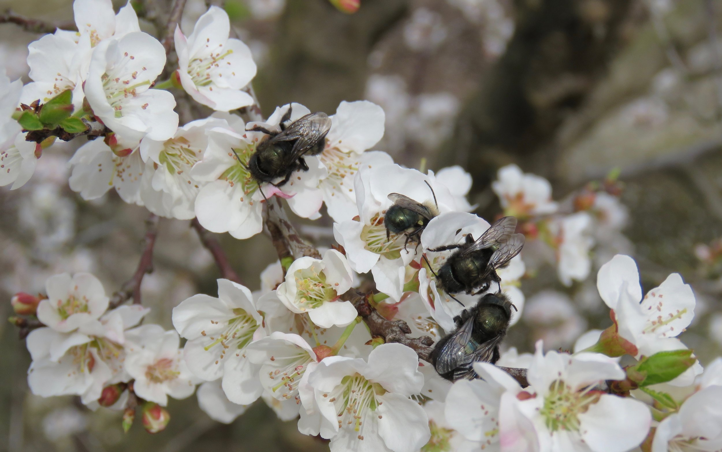 Mason bees gather pollen on almond flowers.