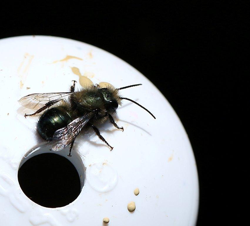 Male mason bee on emergence tube.