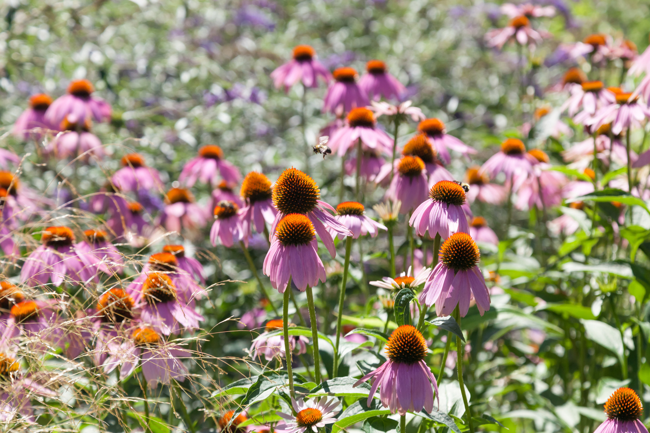 Bees hovering on Echinacea flowers.