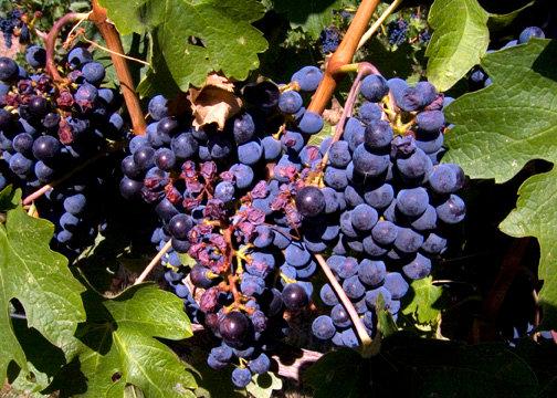 Grapes photo courtesy of Kari Quaas