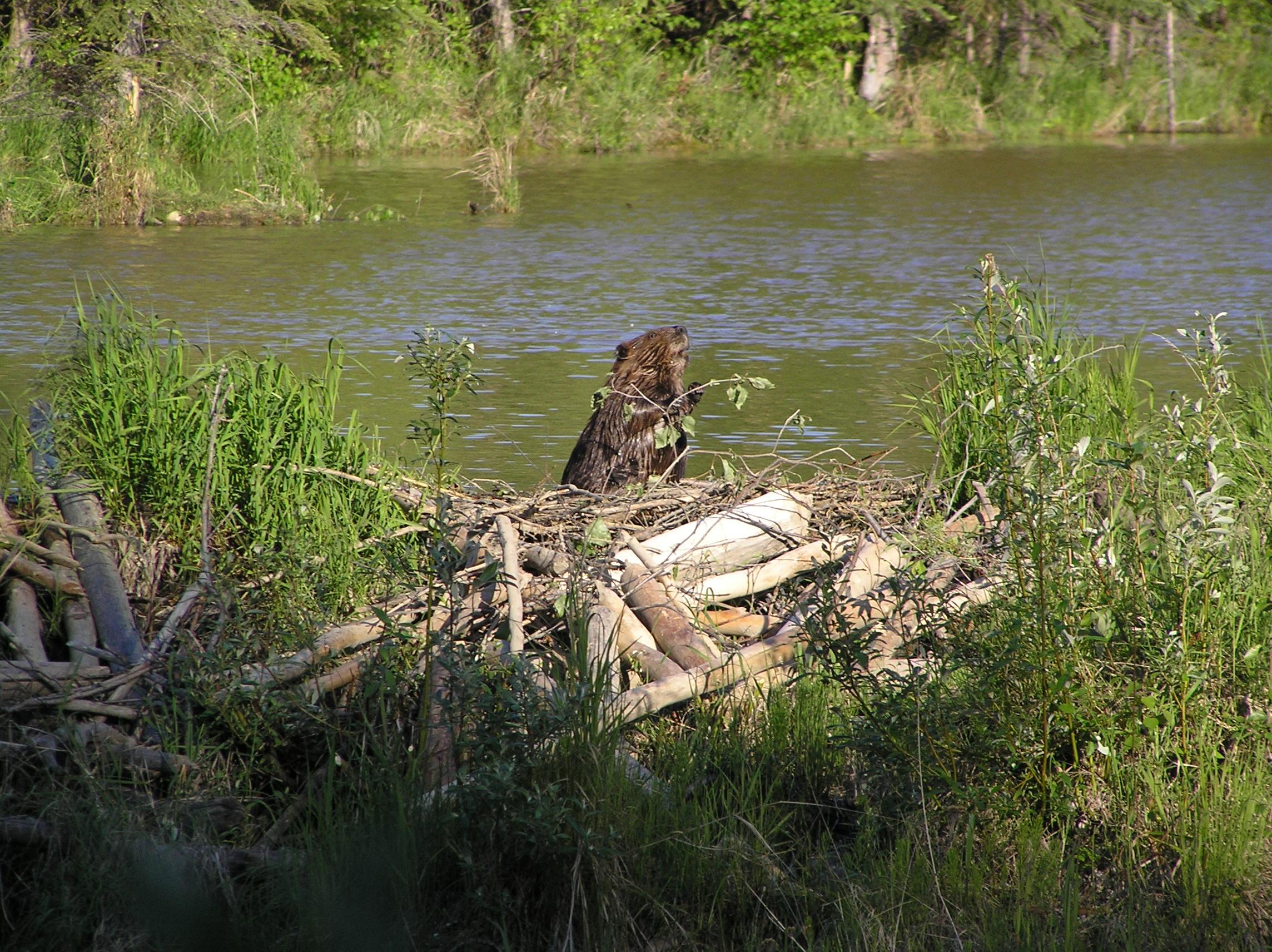 Better ground Fact Sheet / Your neighborhood beaver: Friend or Foe?