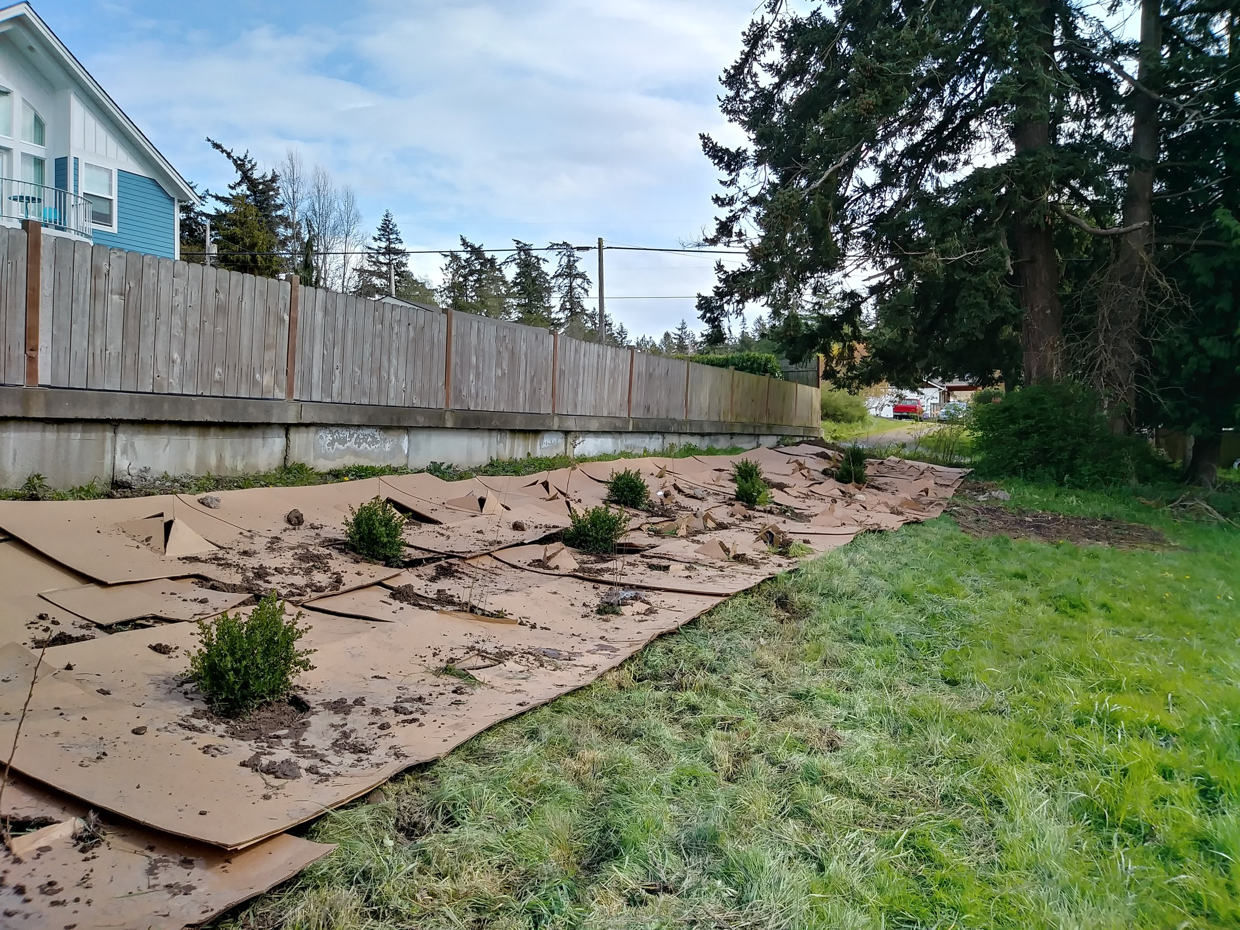 MID-WAY: Cardboard is used to cover the weeds. It will eventually break down and become part of the soil landscape.