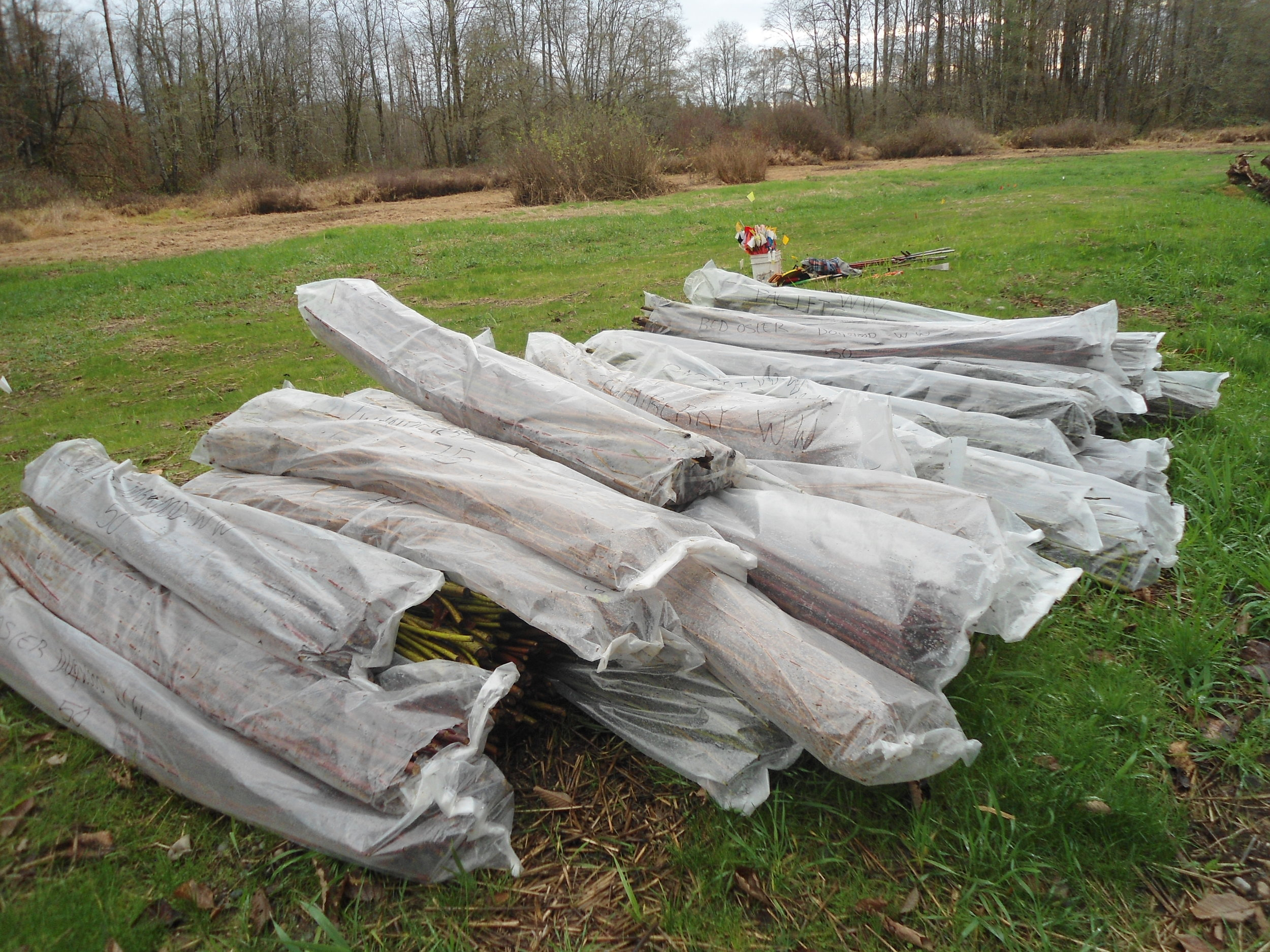 June 2016 - Pile of live stakes waiting to be planted.